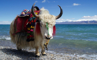 awesome yak
